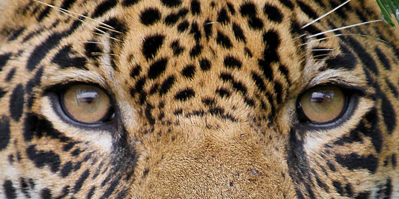 838c6a2f6da Jaguars – Panama Wildlife